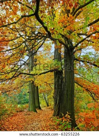 fall oak trees - stock photo