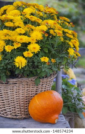 Fall or autumn still life with a yellow chrysanthemums flowers in a weaved basket and orange pumpkin.