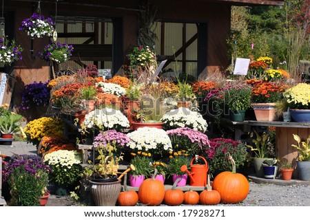 Fall plants, Mums & PUMPKINS AT A GARDEN CENTER IN Vermont. - stock photo