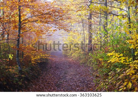 Fall road in the wood / the Beechen wood in fog. Road. - stock photo
