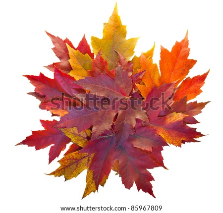 Fall Season Maple Tree Pile of Leaves Isolated on White Background - stock photo