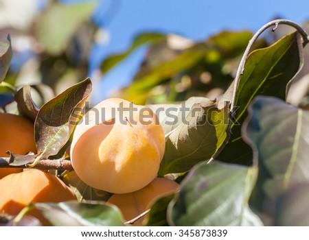 Fall season: ripe persimmon fruit on the tree - stock photo