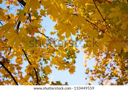 fall tree with golden yellow leaves and blue sky