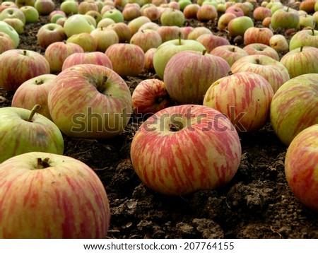 fallen apples on the ground - stock photo