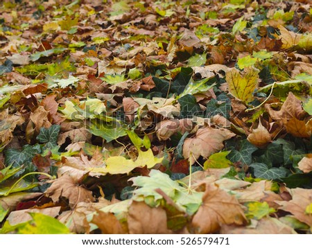 Fallen colorful maple leaves and green ivy on the ground. Fall background texture.