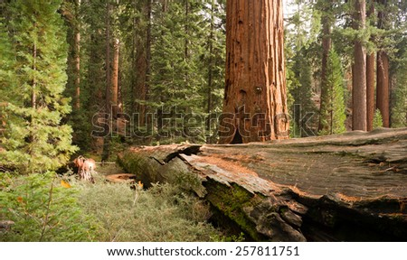 Fallen Forest Giant Sequoia Tree National Park California - stock photo