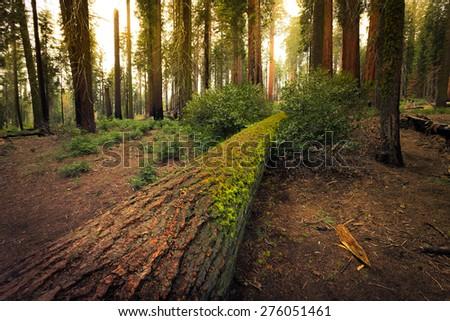 Fallen Giant Sequoia, Sequoia National Park, California  - stock photo