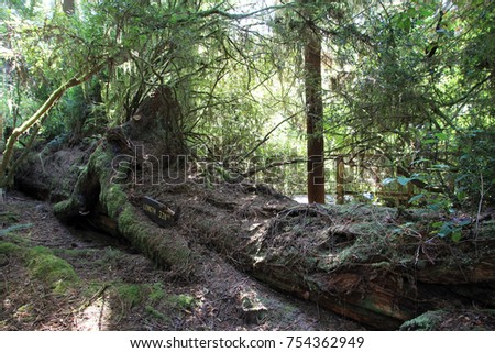Fallen giant tree in park Trees of Mystery in California, USA