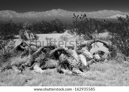 Fallen Joshua Tree (Yucca brevifolia) in black and white - stock photo