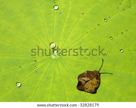 Fallen leaf and dew drops on lotus leaf - stock photo