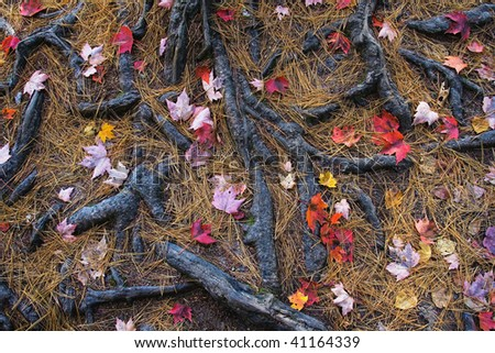 Fallen Leaves and Tree Roots covered in Pine Needles, White Mountains New Hampshire - stock photo