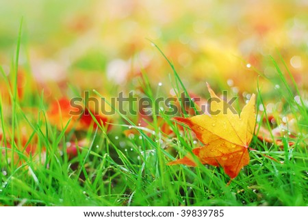 Fallen Maple Leaf - stock photo