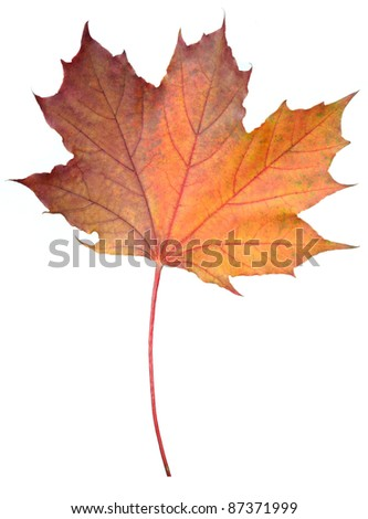 Fallen Maple Leaf Isolated on White Background - stock photo