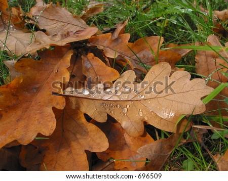 Fallen oak leaves - stock photo