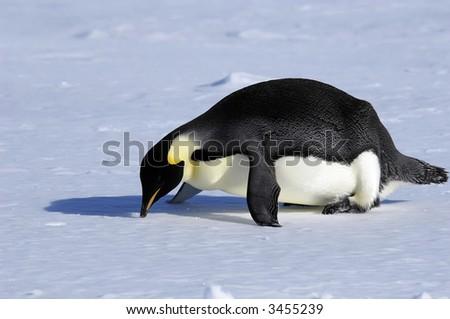 Fallen penguin - stock photo