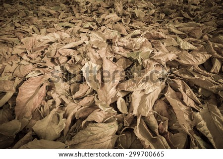 Fallen teak leafs on ground