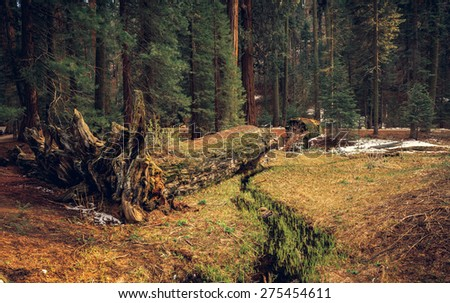 Fallen Tree in the Sequoia Forest, Sequoia National Park, California  - stock photo