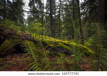 Fallen tree or nurse log sits in an old growth forest. - stock photo