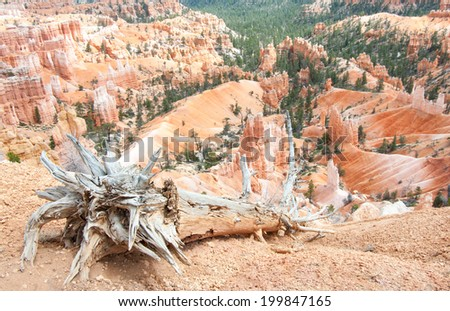 Fallen Tree:  The weathered trunk of a dead tree slopes downward from where it has fallen at the edge of Bryce Canyon.  - stock photo
