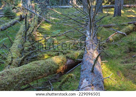Fallen trees in the forest - stock photo