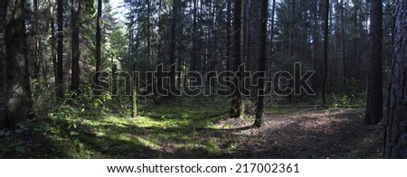 fallen trees  in the forest. wild forest median strip europe rays of the sun through the trees in the wild forest  - stock photo