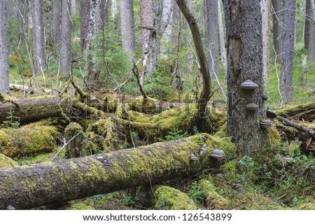 Fallen trees in the primeval forest - stock photo