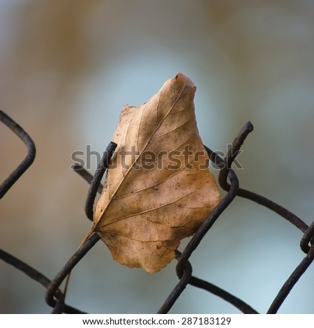 Fallen yellow autumn linden limetree leaf caught on rusty wire mesh fence, large detailed macro closeup, solitude concept metaphor, gentle bokeh - stock photo