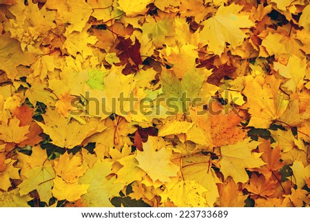 Fallen yellow maple leaves on the ground