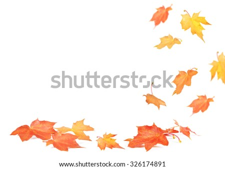 Falling maple leaves isolated on white