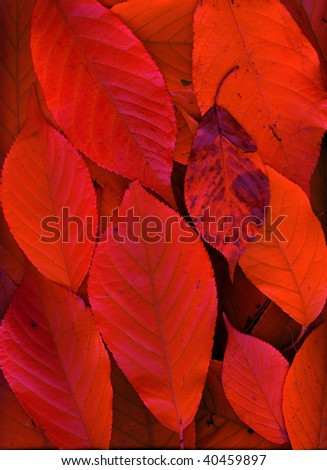 Falling red leaves