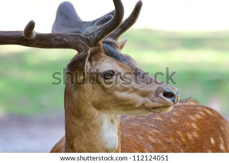 Fallow buck: head with antlers