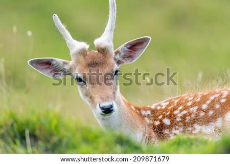 Fallow Deer against a blurred foliage background/Fallow Deer/Fallow Deer (dama dama) - stock photo