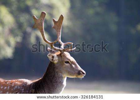 fallow deer antlers    - stock photo