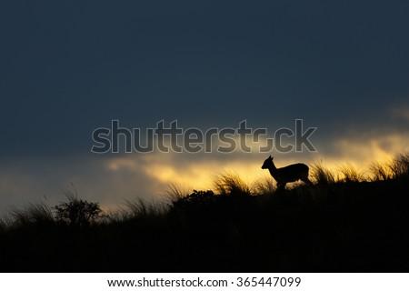 fallow deer at sunset - stock photo