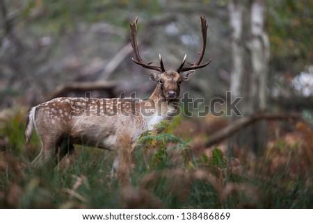 Fallow Deer Buck - stock photo