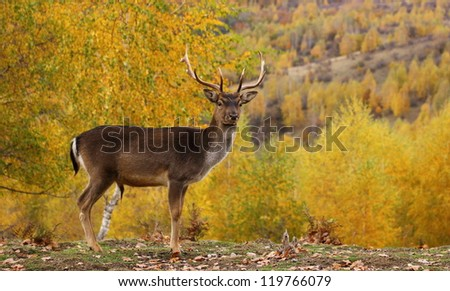 fallow deer buck ( dama dama ) standing proud in a glade during the mating season in fall - stock photo