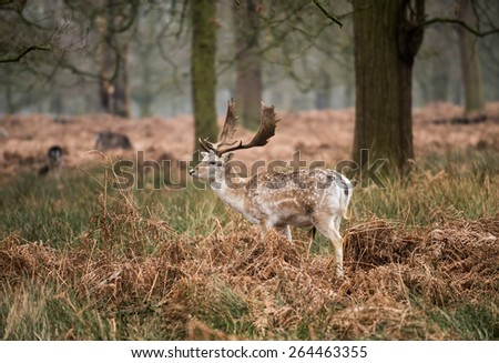 Fallow Deer Buck in Winter, UK,
