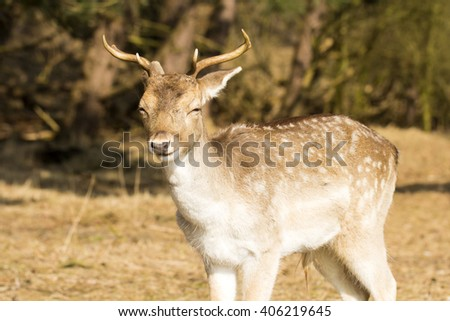 Fallow Deer Buck Standing in a Nature Background