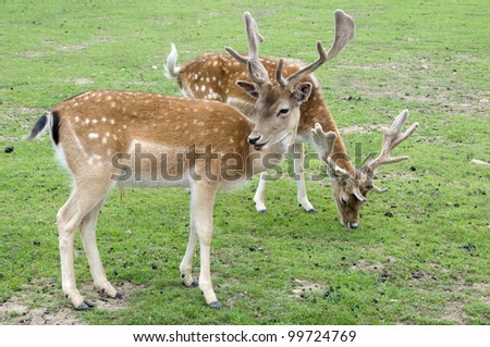 Fallow Deer Bucks - stock photo