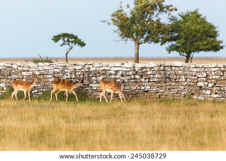 Fallow deer  bucks walking at a stone wall - stock photo