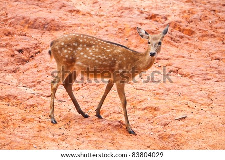 Fallow deer  close up - stock photo