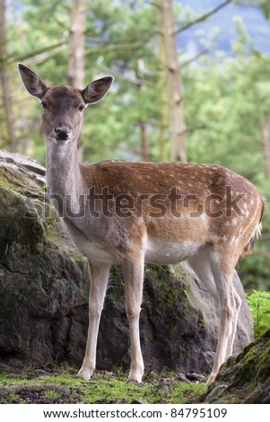 Fallow Deer (Dama dama) female, in the woods near a rock, Switzerland.