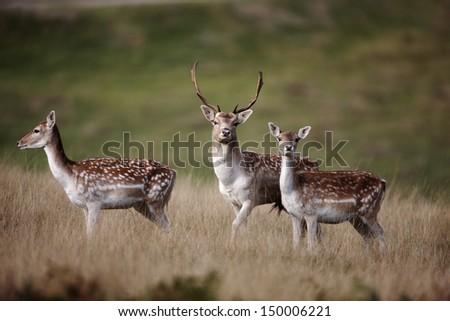 Fallow deer, Dama dama, male and female, Kent, October 2009                      - stock photo