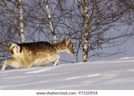 Fallow deer doe (dama dama) fighting hard through the big snow as she walks through a glade in the forest, in a cold winter day. - stock photo
