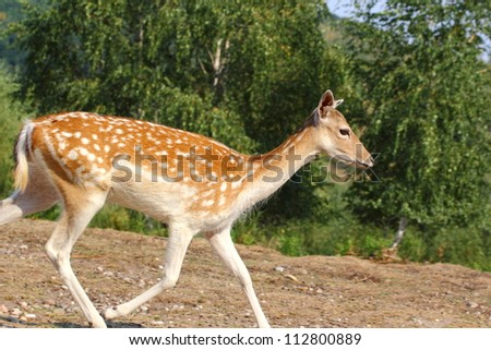 fallow deer doe (dama dama) running through a glade - stock photo