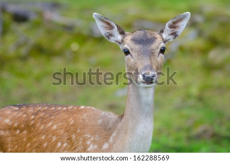 Fallow deer doe in a forest in summer time - stock photo