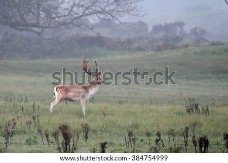Fallow deer during mating season in nature - stock photo