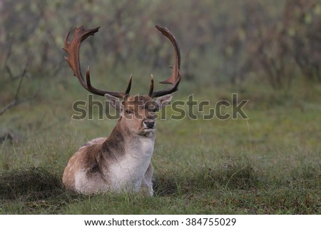 Fallow deer during mating season in nature - stock photo