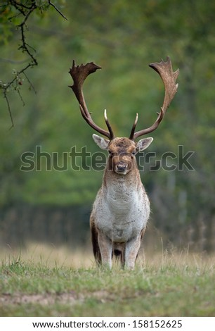 Fallow deer during the rutting season  - stock photo