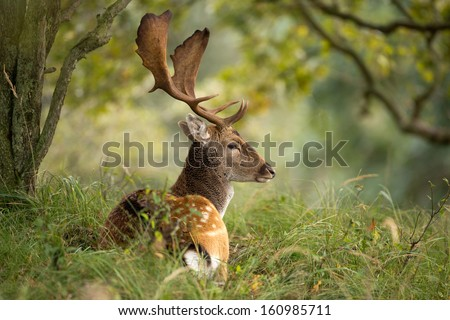 Fallow deer during the rutting season  - stock photo